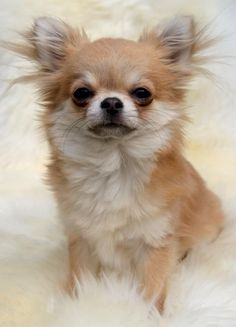 Chihuahua (Such a serious Face !!!)  For designer Dog Clothes and Bling go to  http://yuppypup.co.uk/