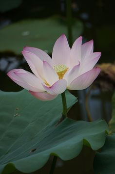 When Odysseus and his men landed after the storm they were offered a meal of lotus (flowers) by peaceful islanders. Odysseus became upset when he found out that eating lotus flowers causes forgetfulness.