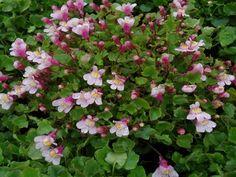 CYMBALARIA muralis 'Globosa Rosea' - Torskemund, farve: rosa, lysforhold: sol/halvskygge, højde: 5 cm, blomstring: juni - september, god til bunddække.