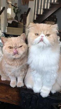 Smart Boy, Persian Cats, Cute Cat Gif, Gif Of The Day, Cat Memes, Adorable Animals, Crazy Cats, Cat Lovers, Funny