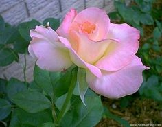 'Diana, Princess of Wales ™' rose, -Used to have this in my rose garden- lovely