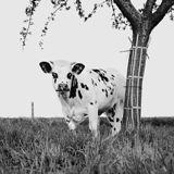 FFFFOUND! | Kühe in Europa: Wer ist die Schönste im ganzen Land? – Seite 11 | Lebensart | ZEIT ONLINE