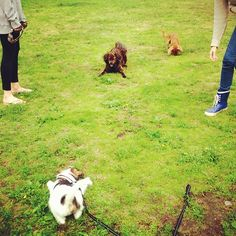 heididahlsveen:  #mixed #breed #dogs playing this #morning : #atsjoo, Maki and Donald #puppy #valp #hund