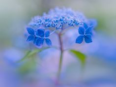 blue - hydrangea after the rain