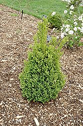 Click to view full-size photo of Green Mountain Boxwood (Buxus 'Green Mountain') at Allisonville Nursery