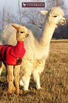 Keep Your baby alpaca warm. <3 <3 <3