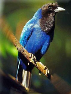 a verdade democrática: pássaros do brazil - gralha azul
