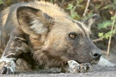 The superb and rare African Wild Dog is one of the main targets and is one of…