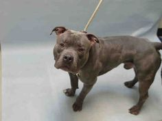 I'M TOTALLY IN TEARS  MURDERED 12-29-2016 HE WAS A PUPPY!!!!!  ZEUS - A1099188 - - Brooklyn Please Share:TO BE DESTROYED 12/29/16 **NEW HOPE RESCUE ONLY** - Click for info & Current Status: http://nycdogs.urgentpodr.org/zeus-a1099188/