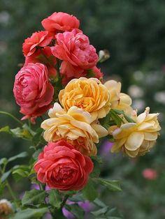 English Shrub Roses: 'Golden Celebration' (U.K., 1992) and 'Summer Song' (U.K., before 2005)