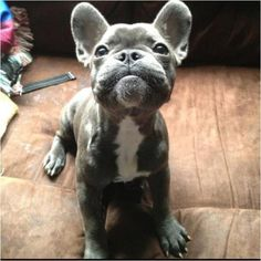 Gray French bull dog