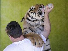 PR: família trava batalha na Justiça para manter tigres em casa - Terra Brasil