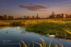 Swans by januszblasz #nature #mothernature #travel #traveling #vacation #visiting #trip #holiday #tourism #tourist #photooftheday #amazing #picoftheday