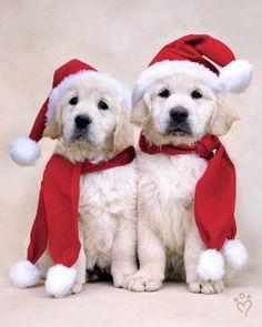 Christmas pups!
