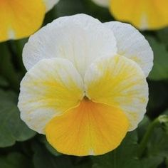 Amazon.com : Banana Cream Pansy Flower Seed Pack : Patio, Lawn & Garden