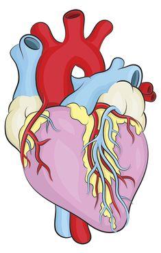 draw a human heart   human heart, Muscles