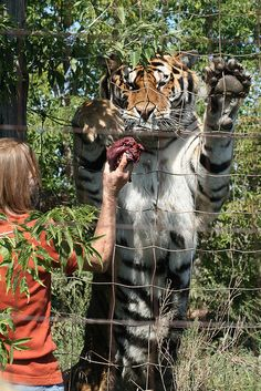 """One of the siberian tigers at Bergeron's Exotic Animal Sanctuary in Picton, Ontario Canada having a """"two o'clock snack"""" during the big cat feeding tour. Unique Animals, Animals Beautiful, All About Tigers, Siberian Tiger, Cat Feeding, Prince Edward, Exotic Pets, Wild Life, Big Cats"""