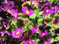 Primula - Vår 2014 - Min hage