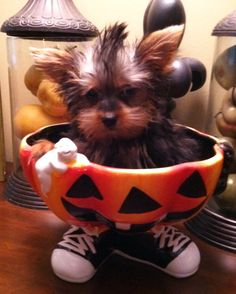 Trick or treat Yorkie sporting his mohawk