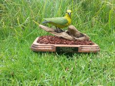 Endangered Hawaiian (Kauai) Bird Called AKAIPOLA'AU