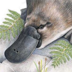 Platypus & Frog  Australian Wildlife art greeting by Josdesktop