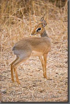Dik-dik  African Safari Wildlife Animals   South Africa