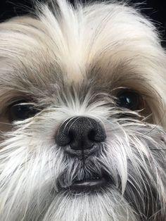 Shih Tzu – Affectionate and Playful Perro Shih Tzu, Shih Tzu Puppy, Shih Tzus, Cute Puppies, Cute Dogs, Dogs And Puppies, Doggies, Boxer Puppies, Boxer Mix