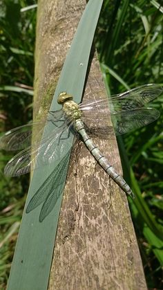 Newly emerged Dragon fly
