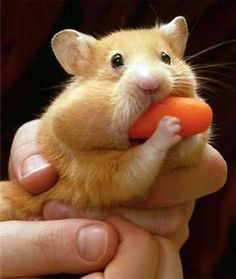 Cute teddy bear hamster - he just had to try to fit the whole carrot in his mouth!  :)