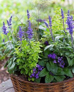 En Bi och Fjärilsbefrämjande sommarkruka. Blå salvia, heliotrop, gulbladig kungsmynta och bronsfänkål. Blommar hela sommaren med både doft och milda färger. #sommarblomsinspiration #heliotrop #salvia #kungsmynta #svenskodlat