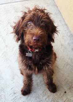 Chocolate Labradoodle This looks so like Tufty when he was a pup! I Love Dogs, Cute Dogs, Chocolate Labradoodle, Animals And Pets, Cute Animals, Dogs And Puppies, Doggies, Australian Labradoodle, Interesting Animals