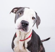 Meet Mary Jane, an adoptable Pit Bull Terrier looking for a forever home. If you're looking for a new pet to adopt or want information on how to get involved with adoptable pets, Petfinder.com is a great resource.