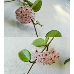 Strangers flowers, la flor de cera... Tatoos, Objects, Plants, Flower, Wax, Plant, Tattos, Planets