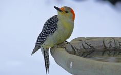 Red Bellied Woodpecker | Nature and Life Photos