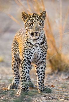 bigcatkingdom: Leopard Cub (by Burrard-Lucas Wildlife Photography)