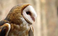 http://world-bird-sanctuary.blogspot.co.uk/2012/12/barn-owl-fun-facts-part-1.html