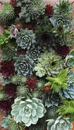 "Succulents: ""Some of the hardiest, drought tolerant varieties they place on their 'Superstar Performer List' are Sempervivum, Echeveria, Crassula and Sedum, REALISTIC plants to grow ! Vertical Succulent Gardens, Succulent Wall, Succulent Gardening, Cacti And Succulents, Planting Succulents, Planting Flowers, Organic Gardening, Indoor Gardening, Indoor Greenhouse"