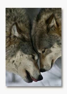 Wolves are simply incredible!
