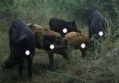 When hunting wild hogs Shot placement is key! Wild Boar Hunting, Hog Hunting, Hunting Tips, Archery Hunting, Wild Hogs, Anatomy And Physiology, Knives, Beast, Fishing