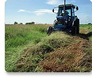 Biomass Energy: Switchgrass crops can be harvested to make biofuels.