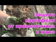 (235) Как избавиться на картофеле от проволочника и колорадского жука - YouTube