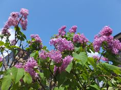 Lilac and blue sky.