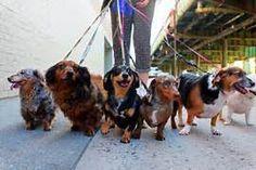 Familia Basset Hound: Como escolher um dogwalker para o seu cachorro? ...