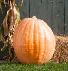 Pumpkins - Dill's Atlantic Giant