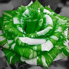 Green & White Rose