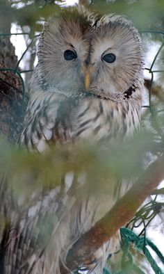 Ural Owl : From Southern & Central finland, up to southern Lapland.