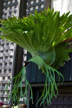 If you have a staghorn fern, you have one of the most interesting plants available. Knowing how to fertilize a staghorn is task that requires timing and some know how. This article provides some tips on the correct staghorn fern fertilizer.