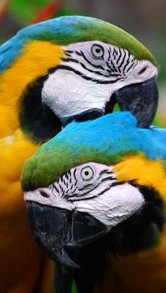 Colorful macaws. This is a daily ritual with my two blue and golds.  The reason is to break the sheath off the newly emerging feathers.  And, I think it feels good to then.
