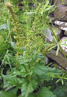 Temperate Climate Permaculture: Good King Henry