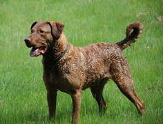 Meet the Chesapeake Bay Retriever. It's the State dog of Maryland. Here is a list of the other official state dogs